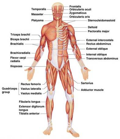 Upper Side Body Diagram http://tomas13719.weebly.com/diagram.html